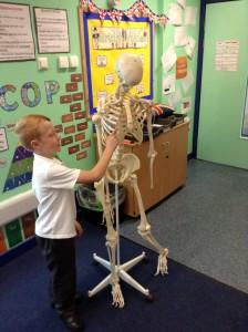 science skeletons (3)