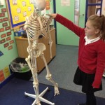 science skeletons (7)