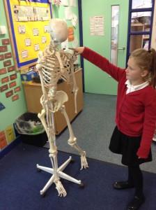 science skeletons (7)